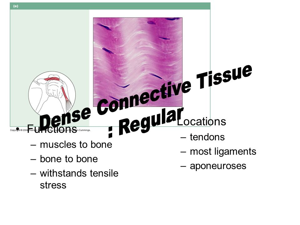 Dense Connective Tissue