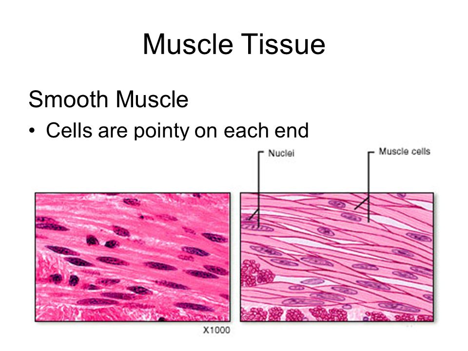 Muscle Tissue Smooth Muscle Cells are pointy on each end