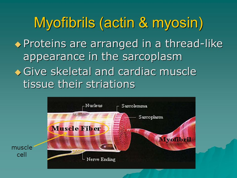 Myofibrils (actin & myosin)