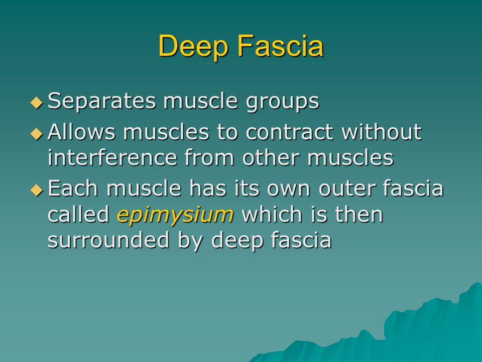 Deep Fascia Separates muscle groups