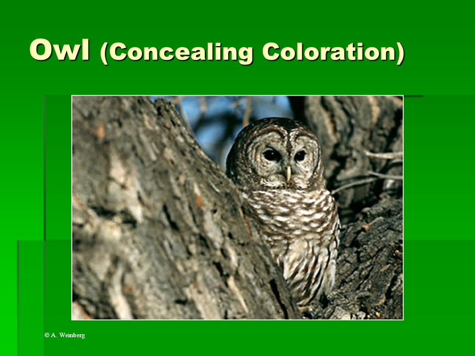 Owl (Concealing Coloration)