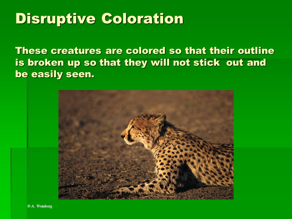 Disruptive Coloration These creatures are colored so that their outline is broken up so that they will not stick out and be easily seen.