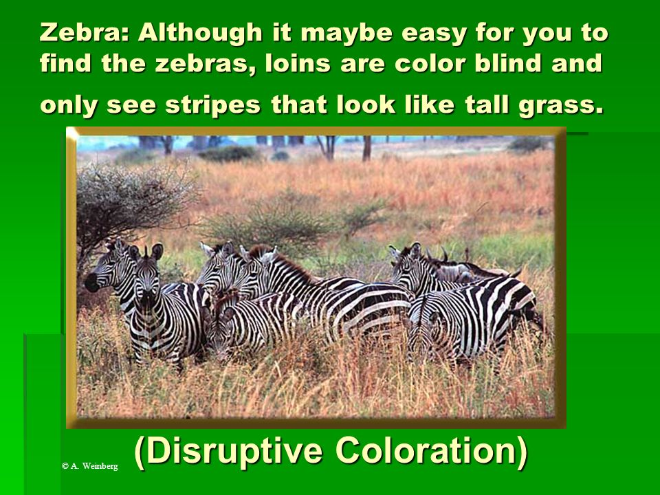 (Disruptive Coloration)