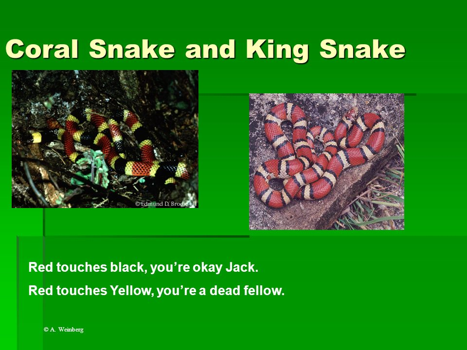 Coral Snake and King Snake