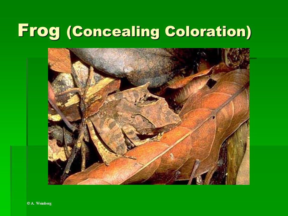 Frog (Concealing Coloration)