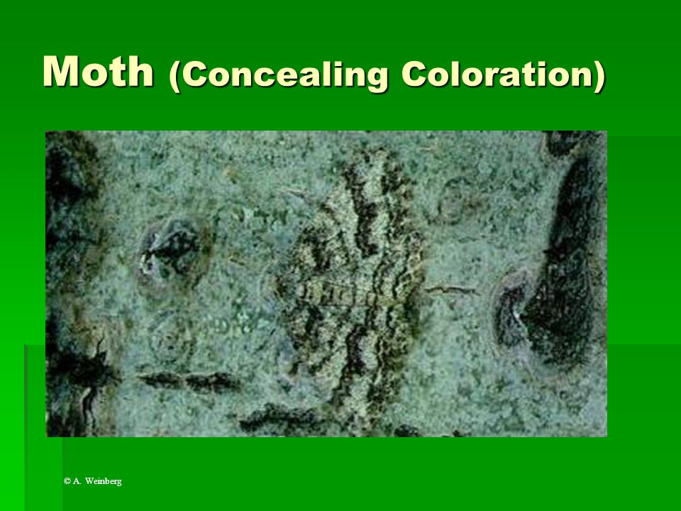 Moth (Concealing Coloration)