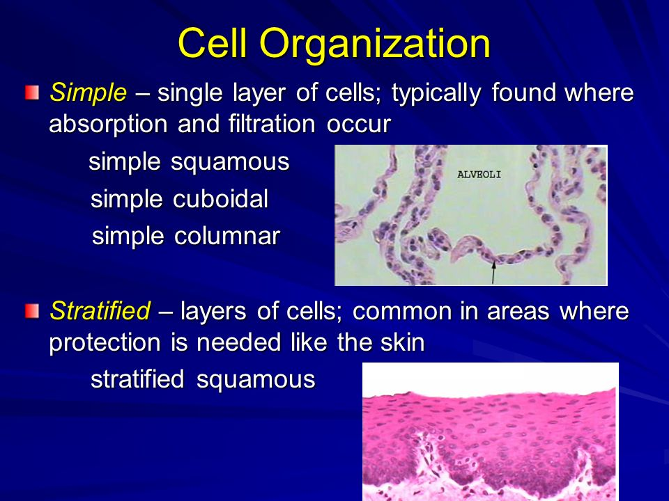 Cell OrganizationSimple – single layer of cells; typically found where absorption and filtration occur.