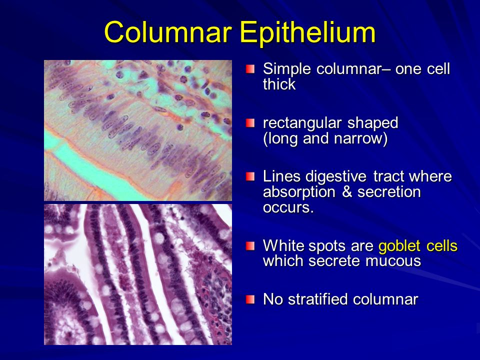 Columnar Epithelium Simple columnar– one cell thick