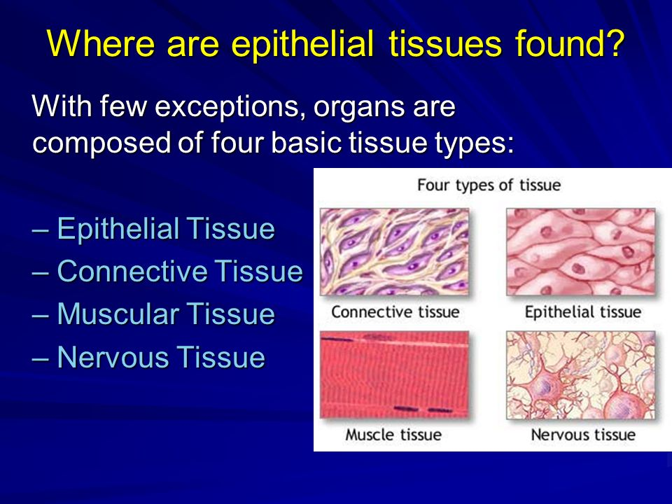 Where are epithelial tissues found