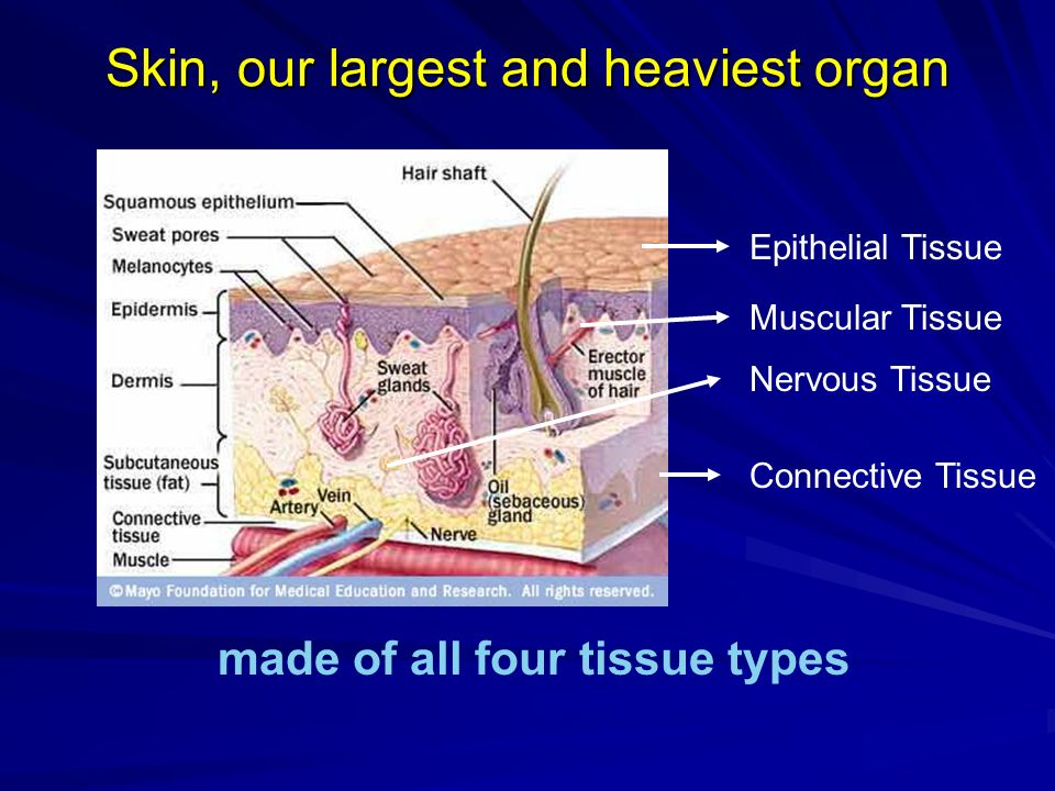 Skin, our largest and heaviest organ