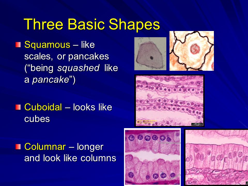 Three Basic Shapes Squamous – like scales, or pancakes ( being squashed like a pancake ) Cuboidal – looks like cubes.