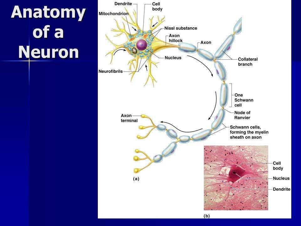 Anatomy of a Neuron