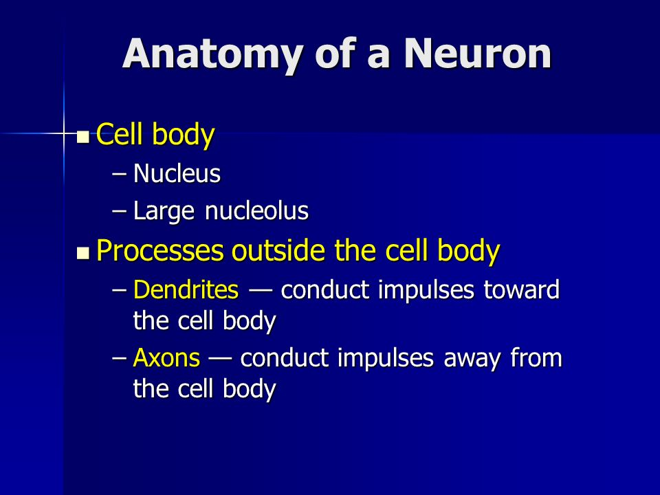 Anatomy of a Neuron Cell body Processes outside the cell body Nucleus
