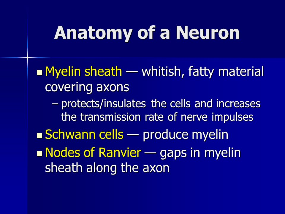 Anatomy of a Neuron Myelin sheath — whitish, fatty material covering axons.