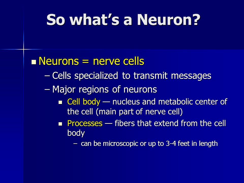 So what's a Neuron Neurons = nerve cells