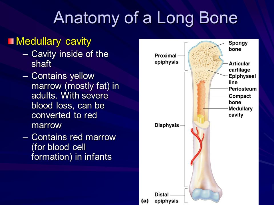 Anatomy of a Long Bone Medullary cavity Cavity inside of the shaft