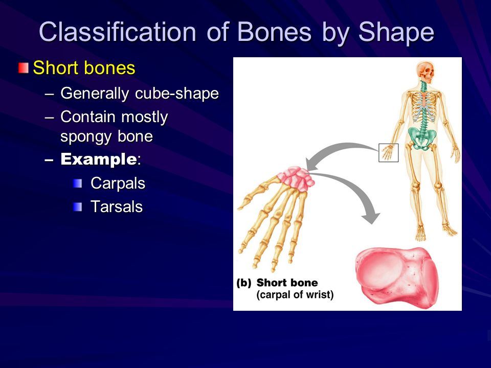 Classification of Bones by Shape