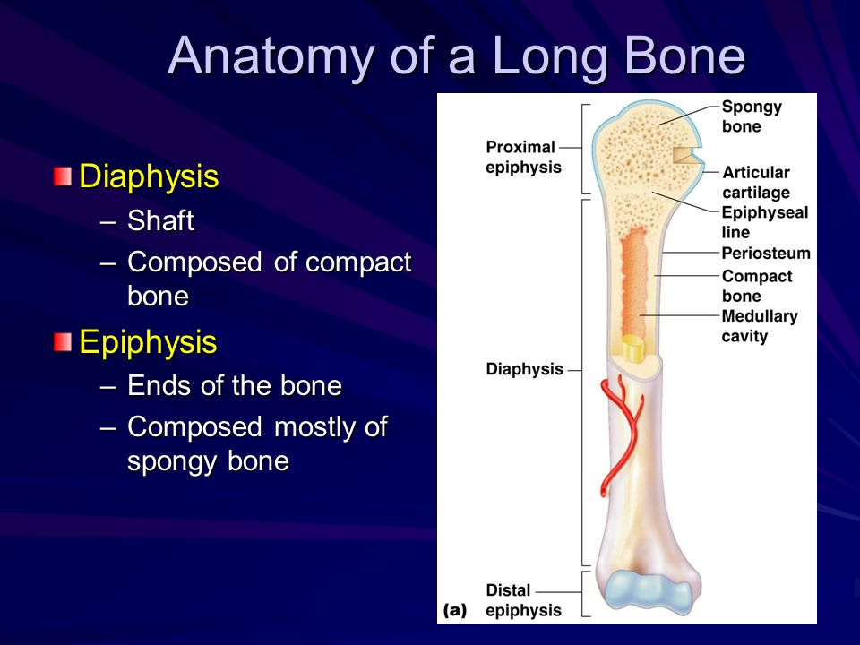 Anatomy of a Long Bone Diaphysis Epiphysis Shaft