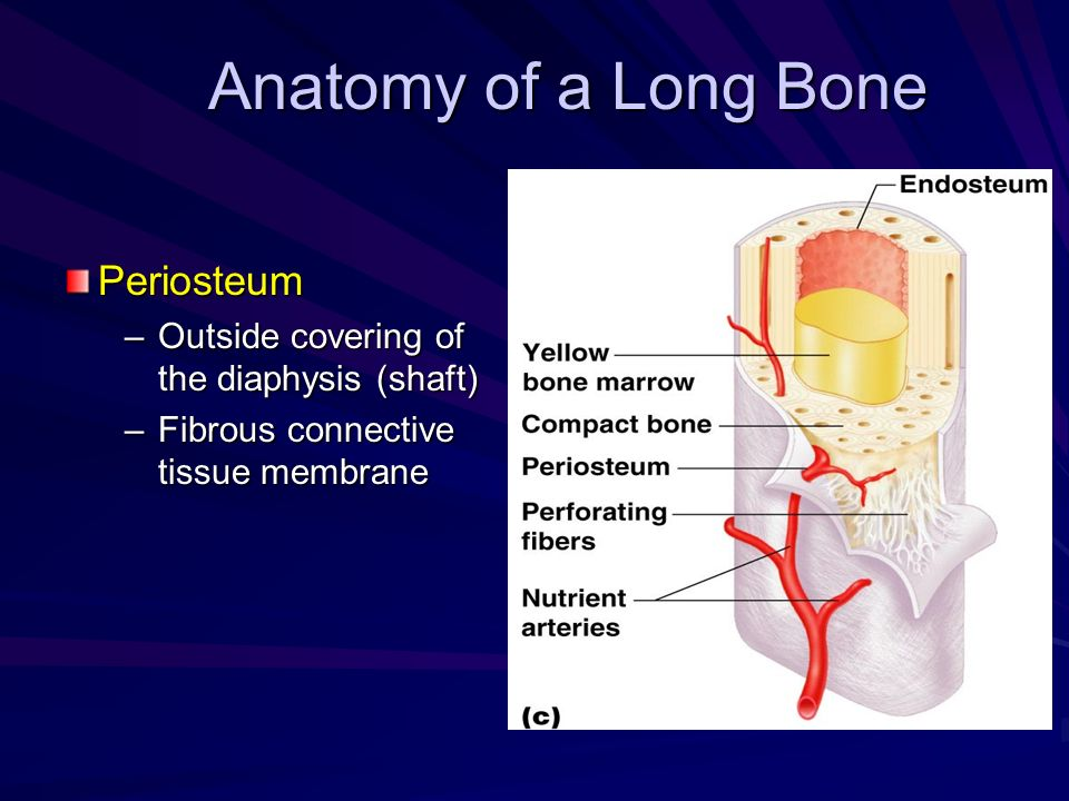 Anatomy of a Long Bone Periosteum