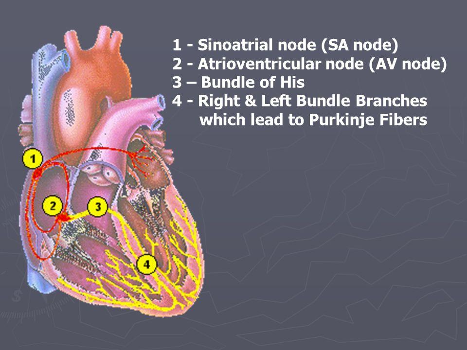 1 - Sinoatrial node (SA node)