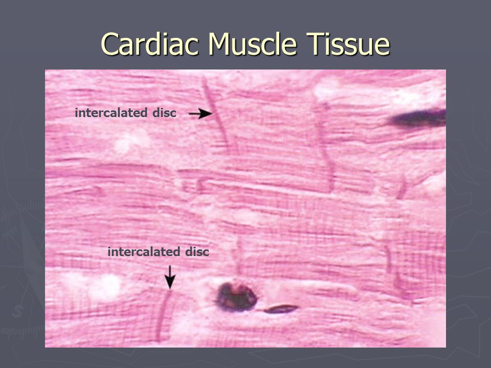 Cardiac Muscle Tissue intercalated disc intercalated disc