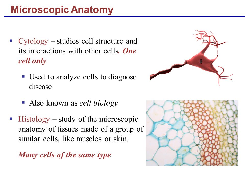 Microscopic Anatomy Cytology – studies cell structure and its interactions with other cells. One cell only.