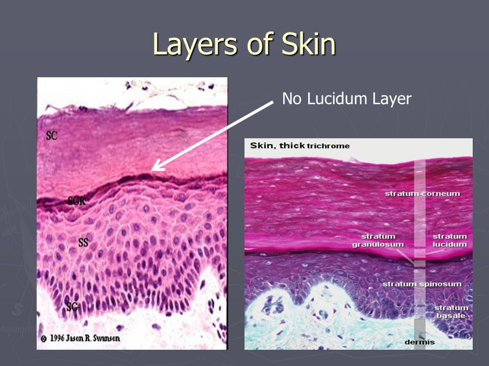 Layers of Skin No Lucidum Layer