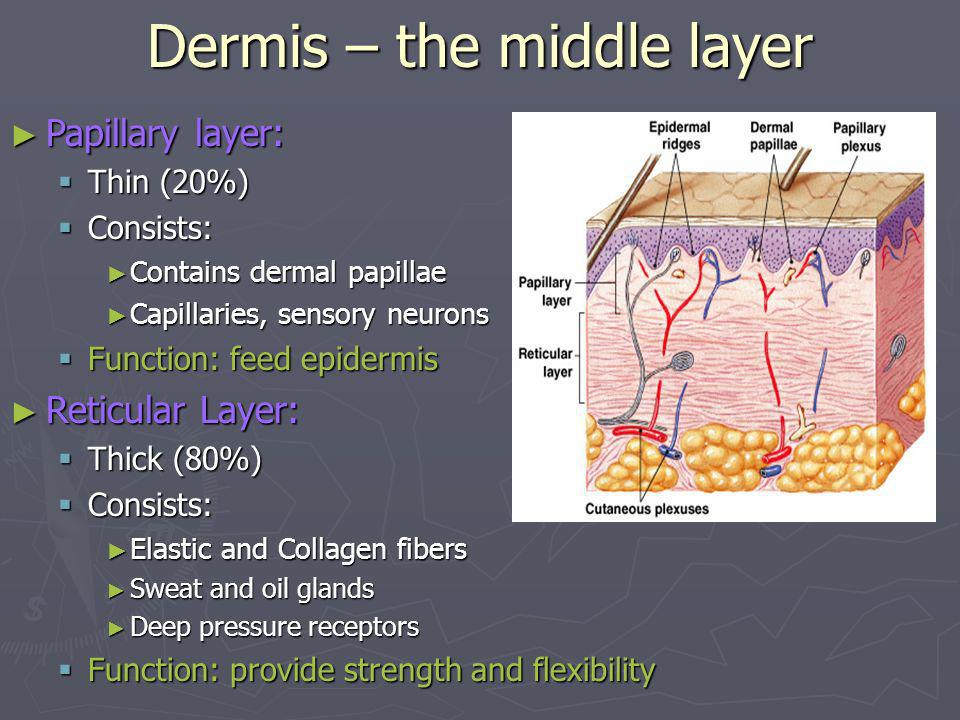 Dermis – the middle layer