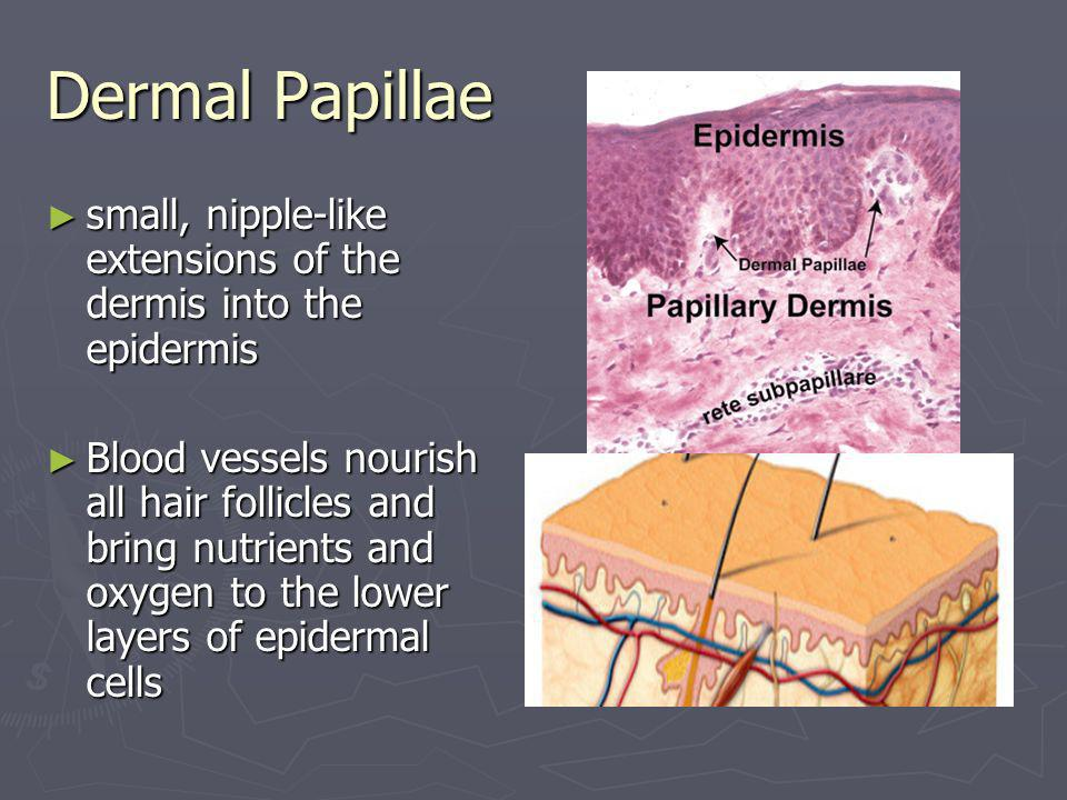 Dermal Papillae small, nipple-like extensions of the dermis into the epidermis.