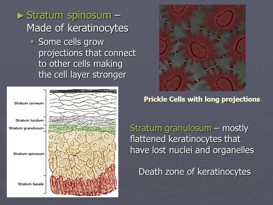 Stratum spinosum – Made of keratinocytes