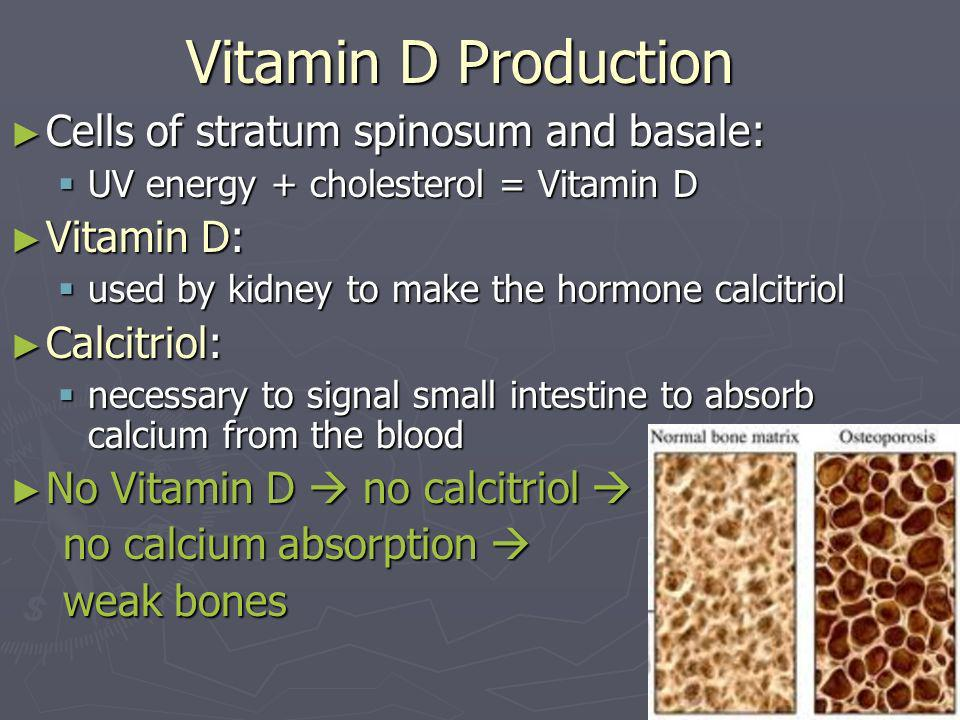 Vitamin D Production Cells of stratum spinosum and basale: Vitamin D: