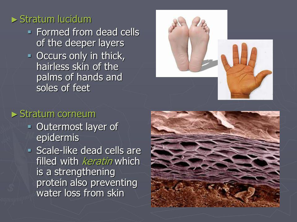 Stratum lucidum Formed from dead cells of the deeper layers. Occurs only in thick, hairless skin of the palms of hands and soles of feet.
