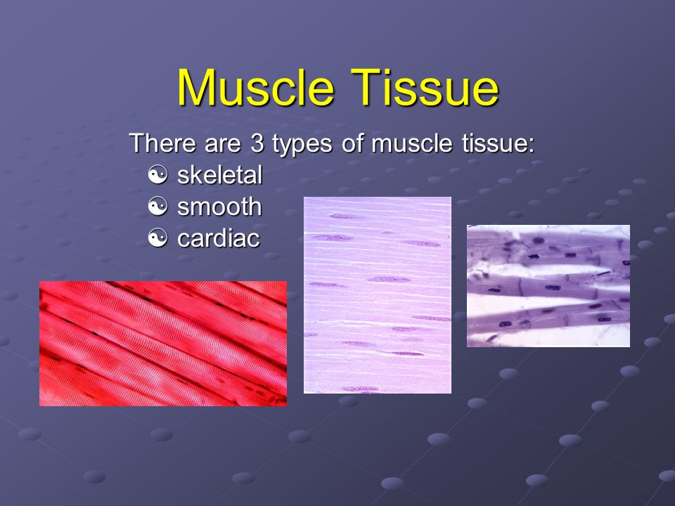 There are 3 types of muscle tissue:  skeletal  smooth  cardiac