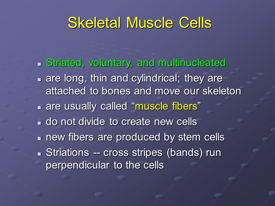 Skeletal Muscle Cells Striated, voluntary, and multinucleated