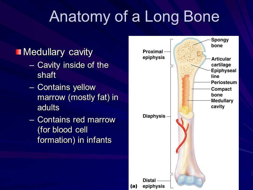 Anatomy of a Long Bone Medullary cavity Cavity inside of the shaft