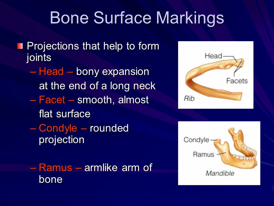 Bone Surface Markings Projections that help to form joints