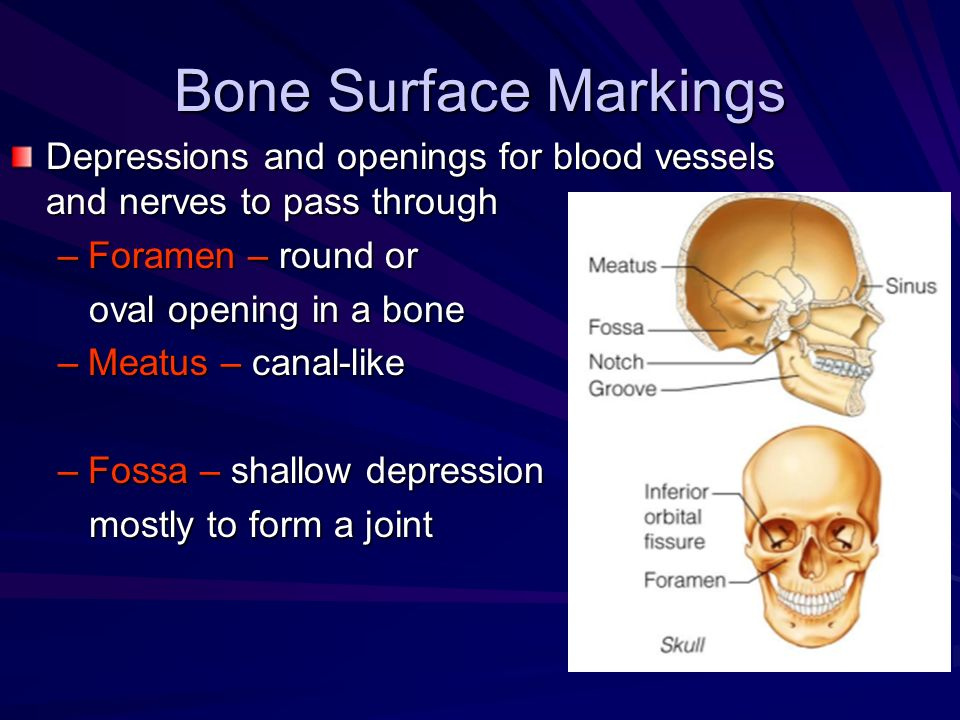Bone Surface Markings Depressions and openings for blood vessels and nerves to pass through. Foramen – round or.