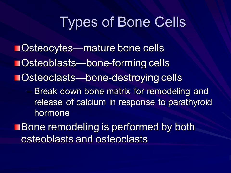 Types of Bone Cells Osteocytes—mature bone cells