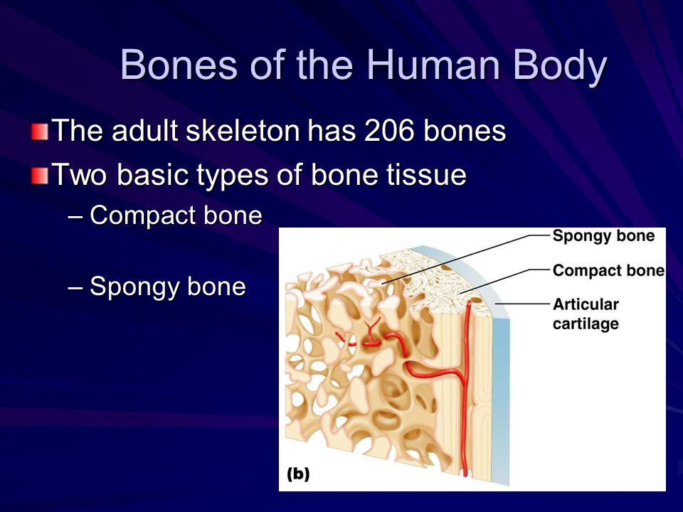 Bones of the Human Body The adult skeleton has 206 bones