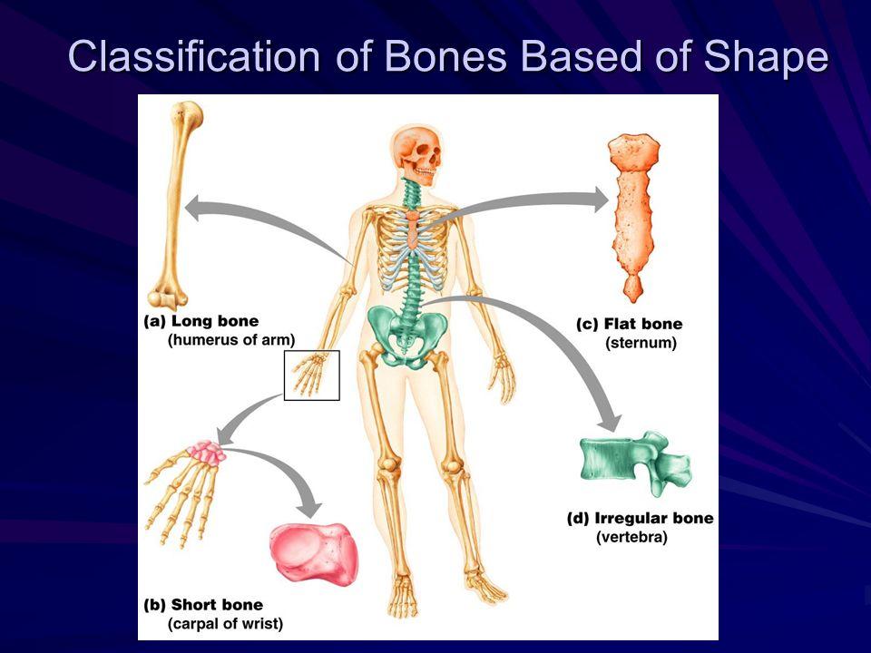 Classification of Bones Based of Shape