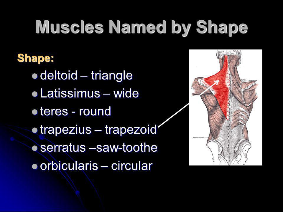 Muscles Named by Shape deltoid – triangle Latissimus – wide