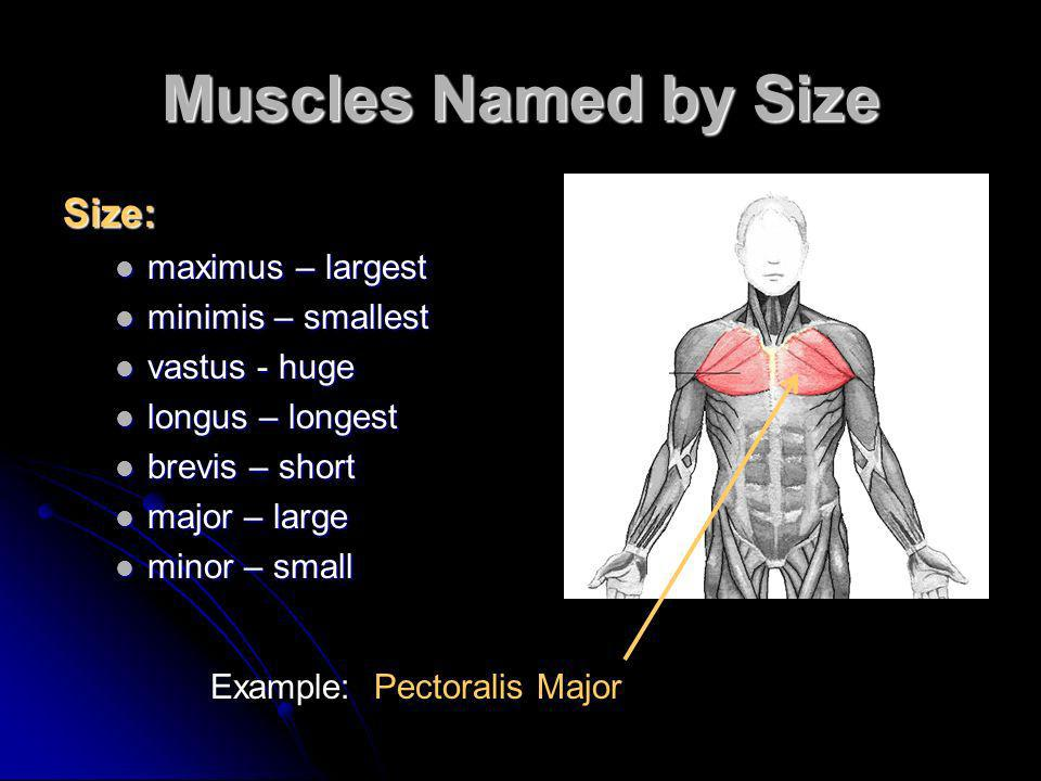 Muscles Named by Size Size: maximus – largest minimis – smallest