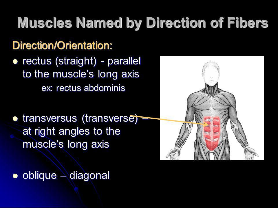 Muscles Named by Direction of Fibers