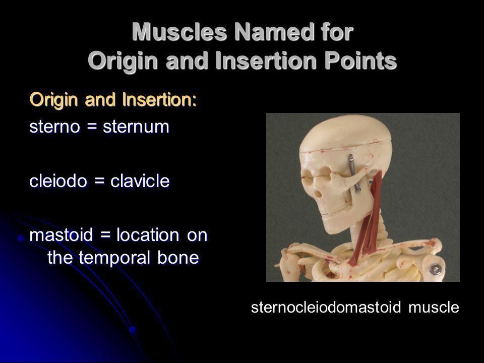 Muscles Named for Origin and Insertion Points