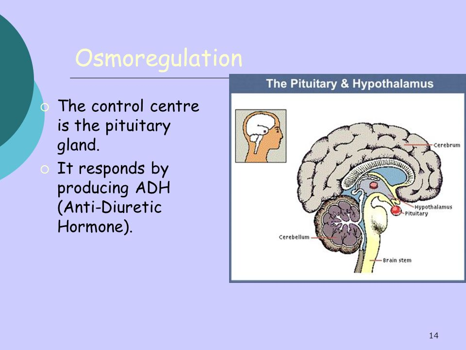 Osmoregulation The control centre is the pituitary gland.