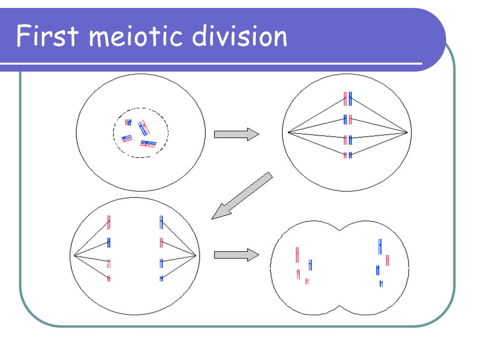 First meiotic division