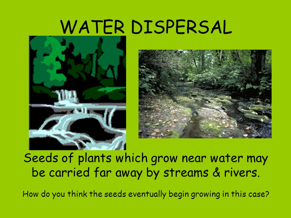 WATER DISPERSAL Seeds of plants which grow near water may