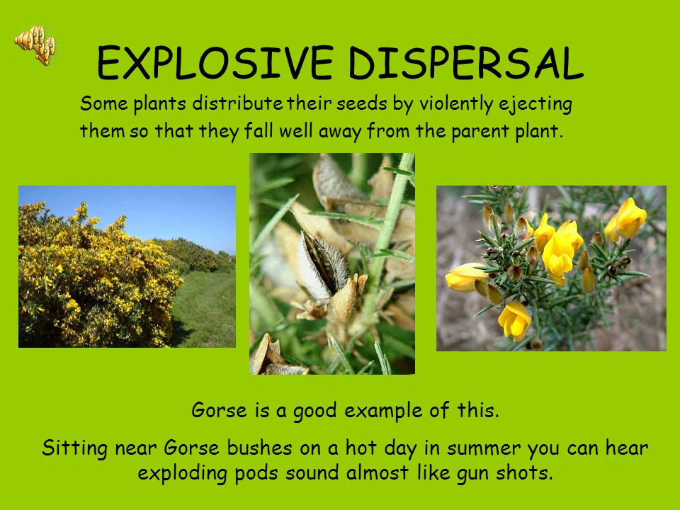 Gorse is a good example of this.