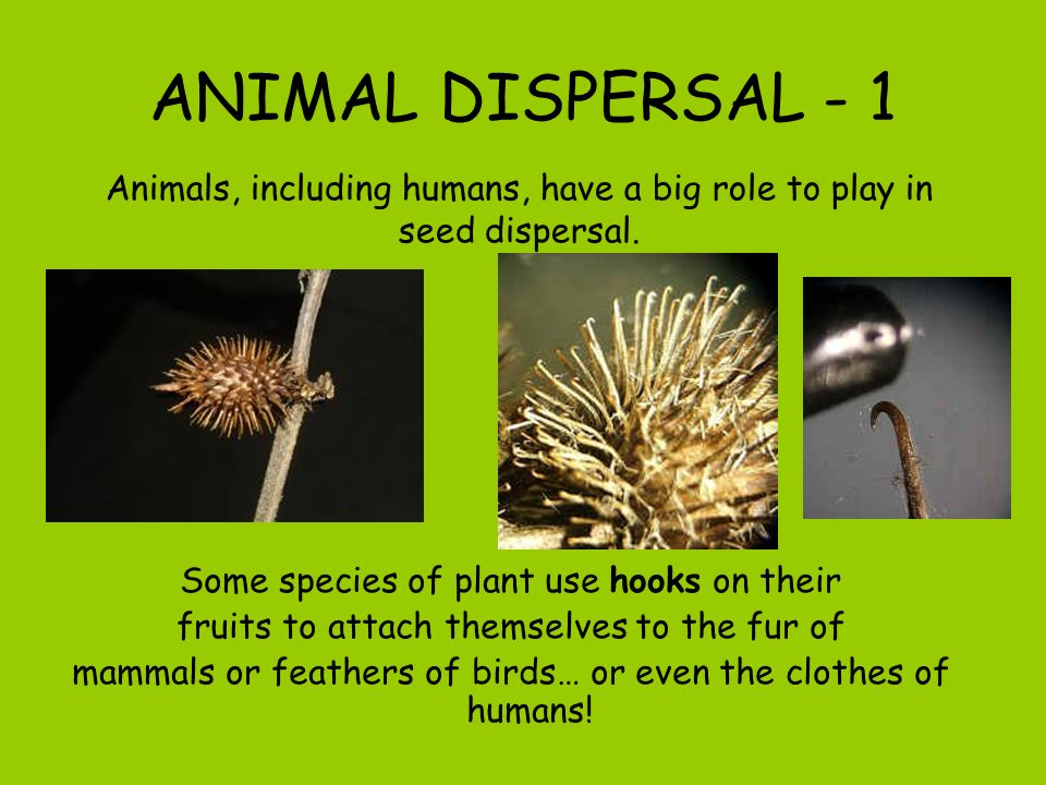 ANIMAL DISPERSAL - 1 Animals, including humans, have a big role to play in seed dispersal. Some species of plant use hooks on their.