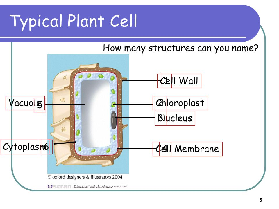 Typical Plant Cell How many structures can you name Cell Wall 1